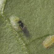 Tamarixia triozae and TP psyllids 01