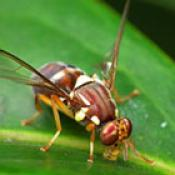 queensland fruit fly 200 141